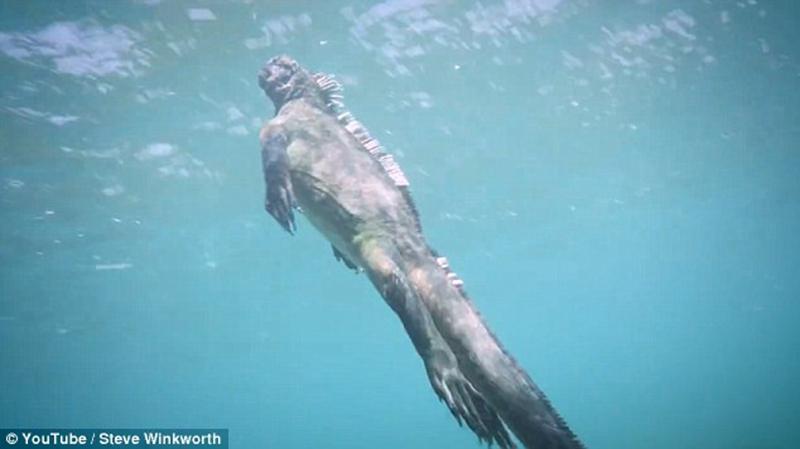 人民网4月12日电 据英国《每日邮报》网站报道,近日,潜水者史蒂夫?温科沃斯(Steve Winkworth)在太平洋东部加拉帕戈斯群岛海水下拍摄到了一条身长两米左右、大小与人相似的海鬣蜥蜴。 因为其动作生猛,体型巨大,人们戏称这条海鬣蜥蜴为哥斯拉。只见它用巨大的爪子抓住水下的岩石,歪头啃食上边的水生植物。然后如同人类一般,扭动着身体浮到海面换气。 一会儿它再次下潜,用长长的尾巴推动身体潜向大洋更深的地方。海鬣蜥蜴毫不惧怕人类,它甚至与潜水员在水中擦肩而过。 史蒂夫?