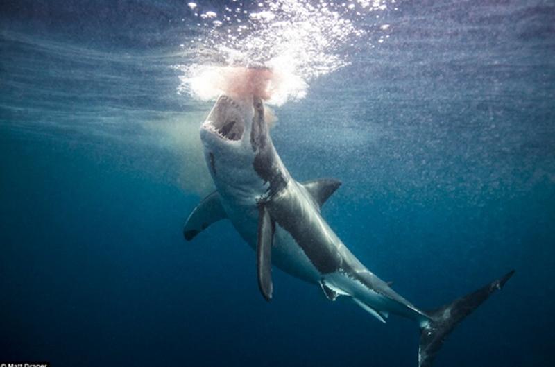 鲨鱼作为世界上最凶猛恐怖的动物之一,其血盆大口可瞬间置人于死地