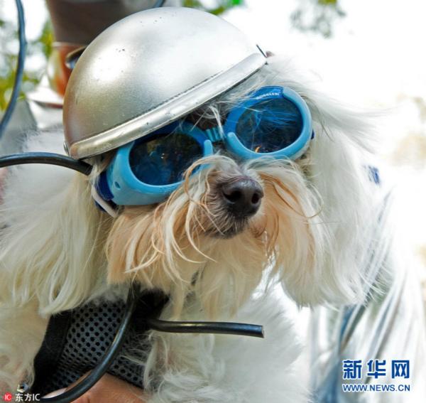 纽约举行万圣节狗狗变装大游行 汪星人盛装登场【5】